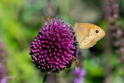 Bruin zandoogje / Meadow Brown (Maniola jurtina)