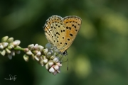 Bruine vuurvlinder / Sooty Copper (Lycaena tityrus)