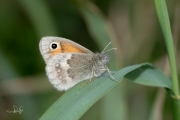 Hooibeestje / Small Heath (Coenonympha pamphilus)