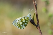 Oranjetipje, vrouwtje  / Orange Tip, female (Anthocharis cardamines)