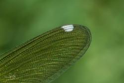 Pterostigma vrouwtje Weidebeekjuffer