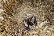 Het jong in het nest, wat niet zoveel voorstelt