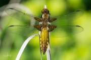 Platbuik, jong mannetje / Broad-bodied Chaser, young female (Libellula depressa)