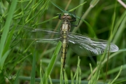 Gewone oeverlibel, vrouwtje / Black-tailed Skimmer, female (Orthetrum cancellatum)