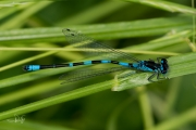 Variabele waterjuffer, mannetje / Variable Damselfly, male  (Coenagrion pulchellum)