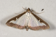 Buxusmot / Box Tree Moth (Cydalima perspectalis)