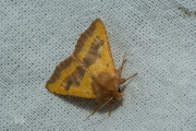 Essengouduil / Centre-barred Sallow (Atethmia centrago)