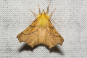 Geelschouderspanner / Canary-shouldered Thorn (Ennomos alniaria)