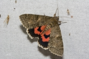 Rood weeskind / Red Underwing (Catocala nupta)