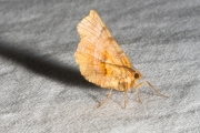 Herculesje / Early Thorn (Selenia dentaria)