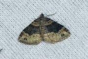 Vierbandspanner / Dark-barred Twin-spot Carpet (Xanthorhoe ferrugata)