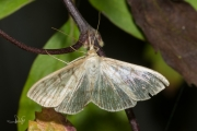 Parelmoermot / Mother of Pearl (Pleuroptya ruralis)
