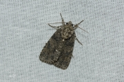 Zuringuil / Knot Grass (Acronicta rumicis)
