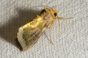 Koperuil / Burnished Brass (Diachrysia chrysitis)