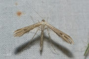 Windevedermot / Morning-glory Plume Moth (Emmelina monodactyla)