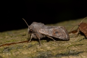 Variabele voorjaarsuil / Clouded Drab (Orthosia incerta)
