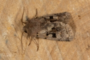 Nunvlinder / Hebrew Character (Orthosia gothica)