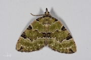 Kleine groenbandspanner / Green Carpet (Colostygia pectinataria)