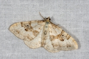 Geoogde bandspanner / Silver-ground Carpet (Xanthorhoe montanata)