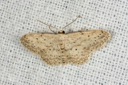 Paardenbloemspanner / Small Dusty Wave (Idaea seriata)