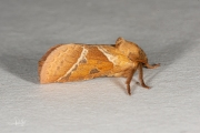 Oranje wortelboorder / Orange Swift (Triodia sylvina)