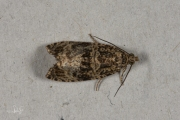 Brandnetelbladroller / Dark Strawberry Tortrix (Syricoris lacunana), micro