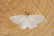 Bruine grijsbandspanner / Common Wave (Cabera exanthemata)