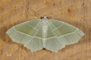 Appeltak / Light Emerald (Campaea margaritaria)