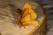 Rietvink / The Drinker (Euthrix potatoria)