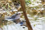 Heikikker / Moor Frog (Rana arvalis)