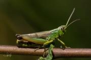 Krasser / Meadow Grasshopper (Pseudochorthippus parallelus)