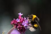 Aardhommel / Buff-tailed Bumblebee (Bombus terrestris)
