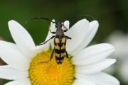 Gevlekte smalboktor / Longhorn beetle (Leptura quadrifasciata)