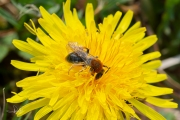 Roodgatje / Orange-tailed Mining Bee (Andrena haemorrhoa)