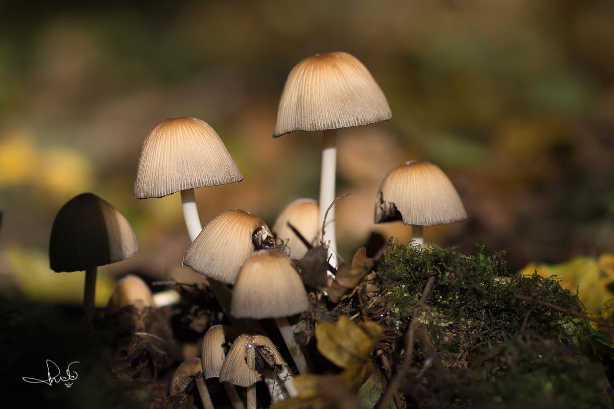 Gewone glimmerinktzwam / Mica cap (Coprinellus micaceus)
