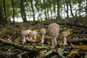 Knolparasolzwam / Shaggy parasol (Chlorophyllum rhacodes)