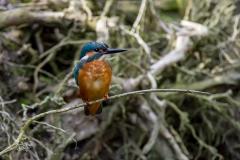 IJsvogel / Common Kingfisher (Alcedo atthis)