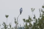Grijze wouw / Black-winged Kite  (Elanus caeruleus)