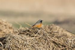 Oosterse zwarte roodstaart / Eastern Black Redstart (Phoenicurus ochruros phoenicuroides)
