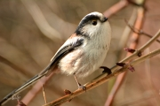 Staartmees / Long-tailed Tit (Aegithalos caudatus)