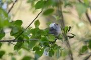 Zwartkop / Eurasian Blackcap  (Sylvia atricapilla)