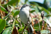 Braamsluiper / Lesser Whitethroat (Sylvia curruca)