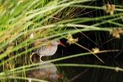 Waterral / Water Rail (Rallus aquaticus)
