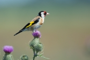 Putter / European Goldfinch (Carduelis carduelis)