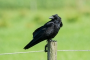 Zwarte kraai / Carrion Crow (Corvus corone)