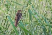 Sprinkhaanzanger / Common Grasshopper Warbler (Locustella naevia)