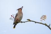 Pestvogel / Bohemian Waxwing (Bombycilla garrulus)