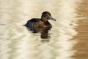 Kuifeend / Tufted Duck (Aythya fuligula)