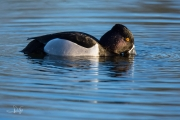 Ringsnaveleend / Ring-necked Duck (Aythya collaris)