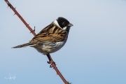 Rietgors / Common Reed Bunting (Emberiza schoeniclus)